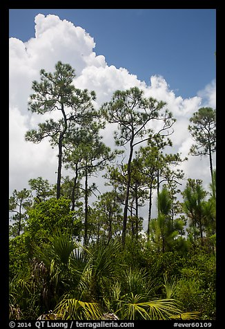 Pines and summer clouds. Everglades National Park (color)