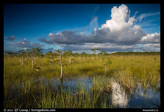 Dwarf Cypress and summer clouds. Everglades National Park (color)
