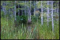 Cypress in summer. Everglades National Park ( color)