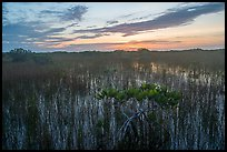 Dwarf mangroves at sunrise. Everglades National Park ( color)