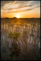 Sun rising above dwarf mangroves. Everglades National Park ( color)