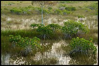 Dwarf mangroves and cypress. Everglades National Park ( color)