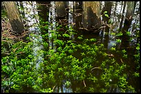 Bacopa and cypress trees. Everglades National Park ( color)