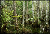 Cypress dome and ferns. Everglades National Park ( color)