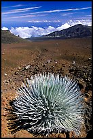 Silversword, an endemic plant, in Haleakala crater near Red Hill. Haleakala National Park, Hawaii, USA.