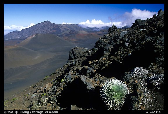 Silversword in Haleakala crater, Sliding sands trail. Haleakala National Park (color)