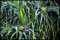 Pineapple-like flowers of Pandanus trees. Haleakala National Park, Hawaii, USA.