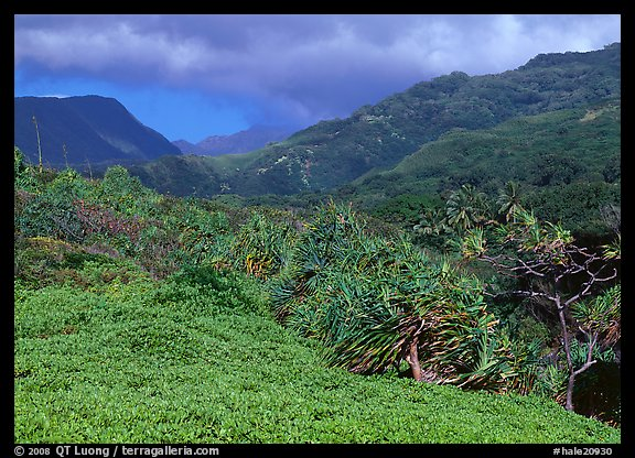 Pandemus trees and Kipahulu mountains. Haleakala National Park (color)