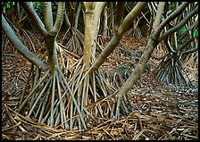 Trunks of Pandanus trees. Haleakala National Park ( color)
