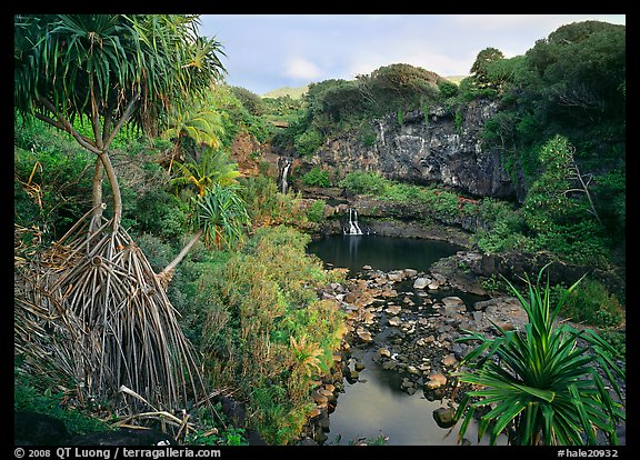 Pandemus trees and some of the seven sacred pools. Haleakala National Park (color)