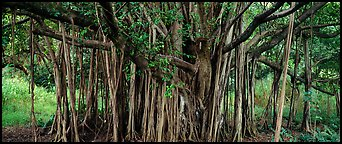 Giant Banyan tree. Haleakala National Park (Panoramic color)