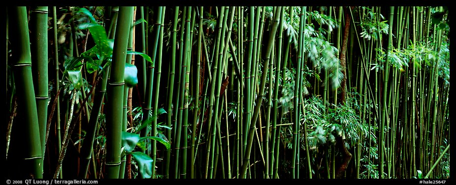 Bamboo grove. Haleakala National Park (color)