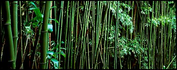 Bamboo grove. Haleakala National Park (Panoramic color)