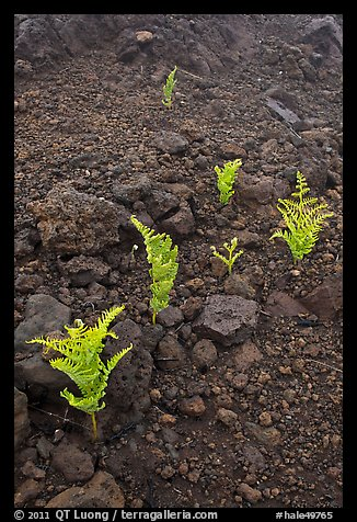 Braken ferns (Pteridium decompositum). Haleakala National Park (color)