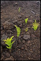 Braken ferns (Pteridium decompositum). Haleakala National Park ( color)
