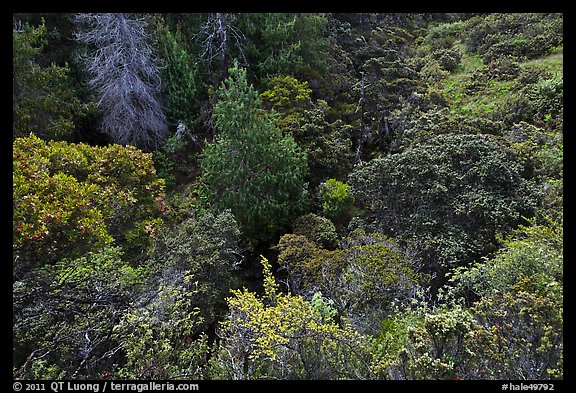 Trees and shrubs from Hosmer Grove overlook. Haleakala National Park (color)