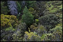 Trees and shrubs from Hosmer Grove overlook. Haleakala National Park ( color)