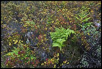 Native ferns and shrubs. Haleakala National Park, Hawaii, USA. (color)