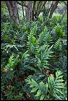 Maile-Scented native hawaiian ferns (Lauaa). Haleakala National Park ( color)