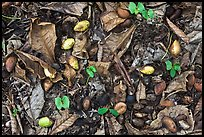 Fallen tropical almond (Kamani). Haleakala National Park, Hawaii, USA. (color)