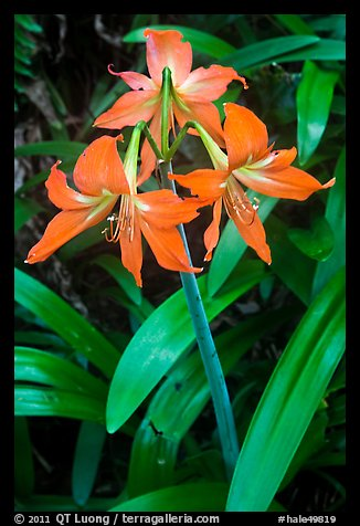Wild lily. Haleakala National Park, Hawaii, USA.