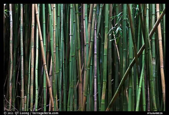 Bamboo stems. Haleakala National Park (color)
