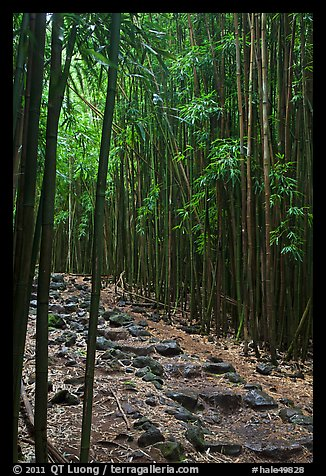 Bamboo lined path - Pipiwai Trail. Haleakala National Park (color)