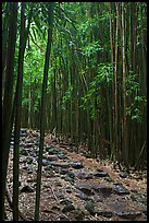 Bamboo lined path - Pipiwai Trail. Haleakala National Park, Hawaii, USA. (color)