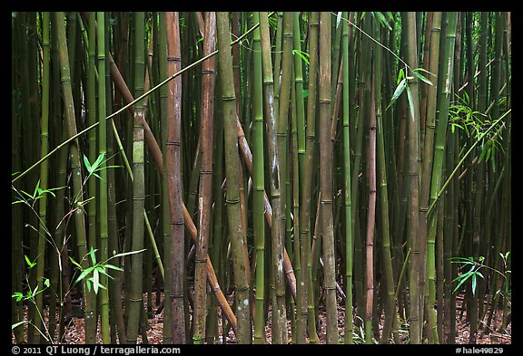 Dense Bamboo forest. Haleakala National Park (color)