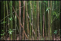Dense Bamboo forest. Haleakala National Park, Hawaii, USA. (color)