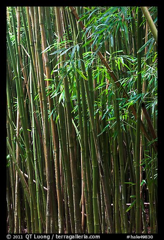 Bamboo stems and leaves. Haleakala National Park (color)