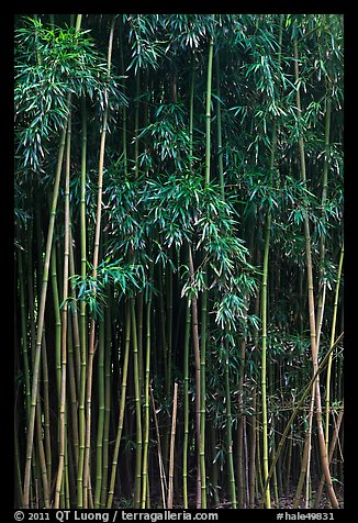 Thick Bamboo forest. Haleakala National Park (color)