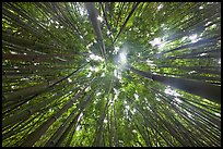 Looking up bamboo forest. Haleakala National Park ( color)