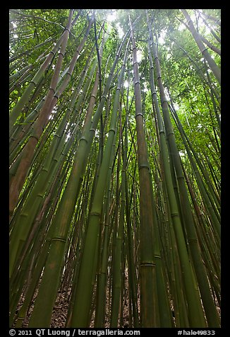 Looking up dense bamboo grove. Haleakala National Park (color)