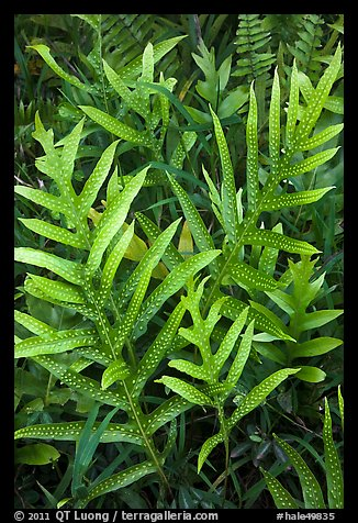 Maile-Scented Fern (Phymatosorus scolopendria). Haleakala National Park (color)