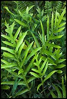 Maile-Scented Fern (Phymatosorus scolopendria). Haleakala National Park ( color)