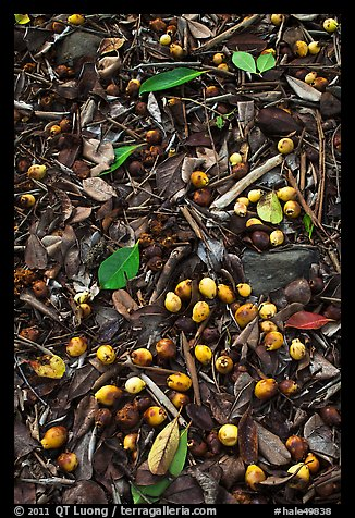 Forest floor close-up with tropical almond. Haleakala National Park (color)