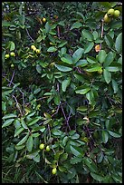 Guava tree with fruits. Haleakala National Park, Hawaii, USA. (color)