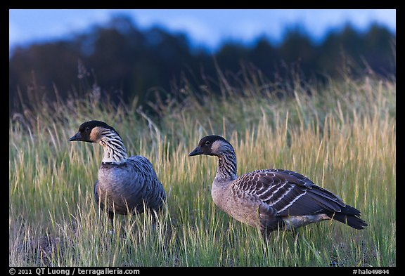 Nene geese. Haleakala National Park (color)