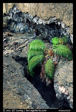 Ferns and lava crust on Mauna Ulu crater. Hawaii Volcanoes National Park (color)
