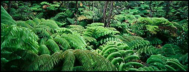 Tropical ferns. Hawaii Volcanoes National Park (Panoramic color)
