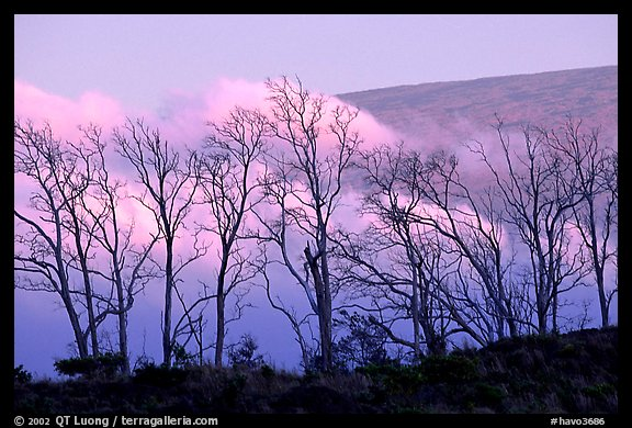 Trees silhouetted against fog at sunrise. Hawaii Volcanoes National Park (color)
