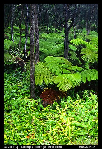 Hawaiian rain forest ferns and trees. Hawaii Volcanoes National Park (color)