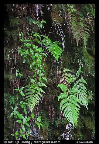 Ferns on cave wall. Hawaii Volcanoes National Park (color)