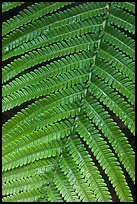 Fern close-up. Hawaii Volcanoes National Park, Hawaii, USA. (color)