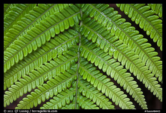 Tropical fern frond. Hawaii Volcanoes National Park (color)