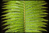 Tropical fern leaves. Hawaii Volcanoes National Park, Hawaii, USA. (color)