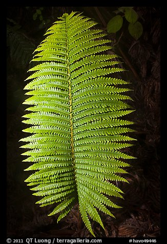 Fern leaf. Hawaii Volcanoes National Park (color)
