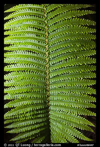 Fern frond close-up. Hawaii Volcanoes National Park (color)