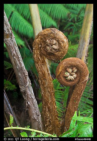 Hapuu Ferns with pulu hair. Hawaii Volcanoes National Park (color)